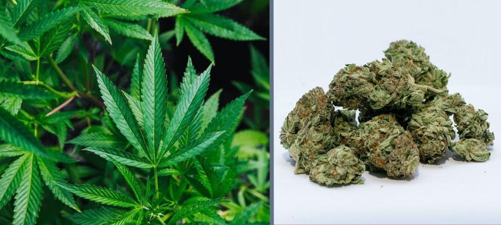 Marihuana w końcu będzie legalna. Jak można na tym zarobić?